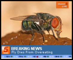 fly_dies_from_overeating