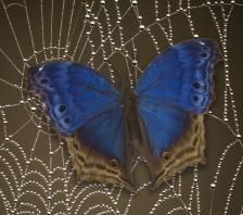 butterfly_stuck_web