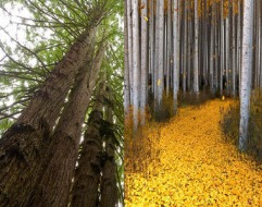 aspen_redwood_trees