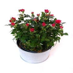 miniature-rose-bush
