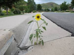 sunflowerincement